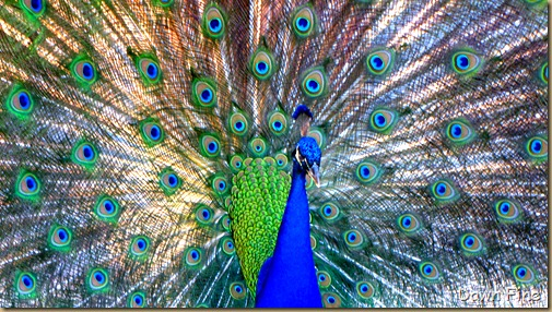 Peacocks @Magnolia Park, Apopka Florida_111