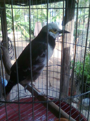 Chim Yểng 2,5 năm lồng của em