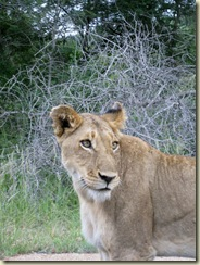 Female lion Kruger National Park South Africa