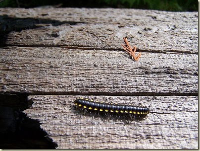 03 Night train millipede (500x375)
