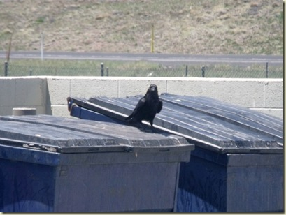 01 Raven behind McDonalds Williams AZ (800x600)
