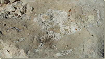 09 Fossils in limestone at Marble View FS219 Kaibab NF AZ (1024x576)