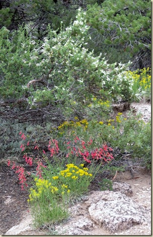 04 Unknown LYF, Firecracher Penstemon & Cliffrose Cape Royal trail Walhalla Plateau NR GRCA NP AZ (655x1024)