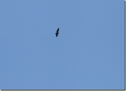 05 California condor above Walhalla overlook NR GRCA NP AZ (1024x734)