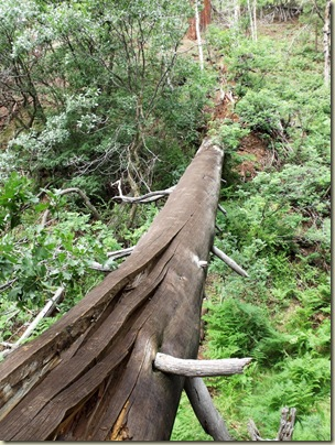 04 Huge fallen tree across gully by Transept trail NR GRCA NP AZ (768x1024)