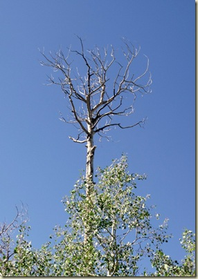 02 Dead Aspen snag AZ trail NR GRCA NP AZ (723x1024)
