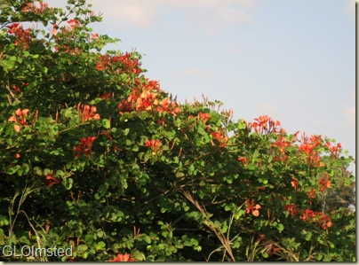 Pride of the Cape tree in flower Kruger National Park Mpumalana South Africa