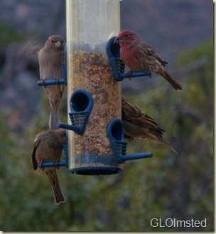 03 Sparrows & house finch on feeder Yarnell AZ (737x800)