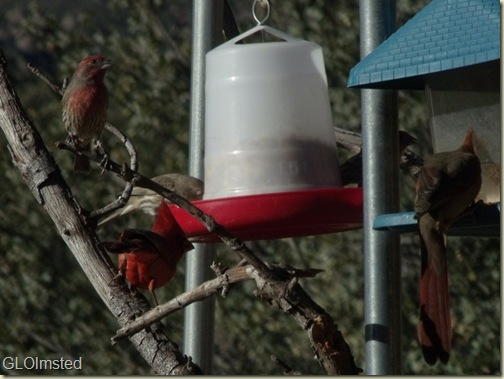 03 House finch & Mr & Mrs Cardinal Yarnell AZ (1024x768)