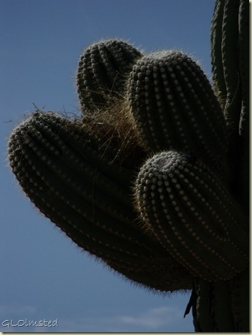 06 Birds nest in saguaro Saguaro NP AZ (768x1024)