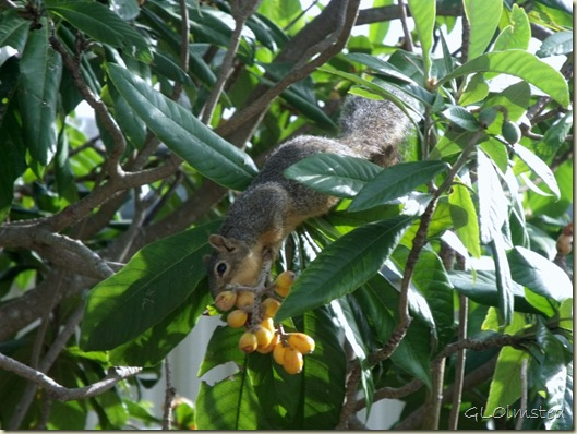 02 Squirrel in fig tree San Benito TX (1024x768)