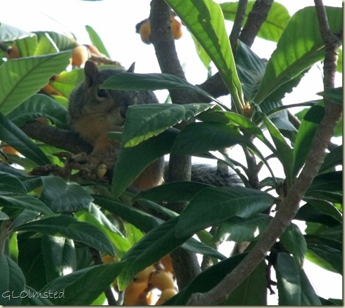 03 Squirrel in fig tree San Benito TX (1024x913)