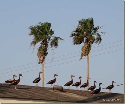02 Black-bellied Whistling Ducks on roof San Benito TX (1024x852)