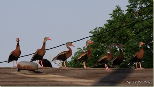 03 Black-bellied Whistling Ducks on roof San Benito TX (1024x580)