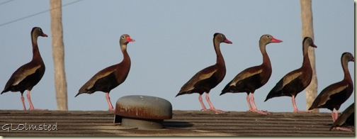 04 Black-bellied Whistling Ducks on roof San Benito TX (1024x392)