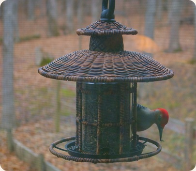 red headed woodpecker on a feeder