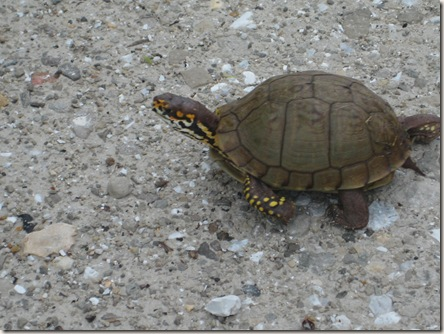 Turtle crossing gravel road