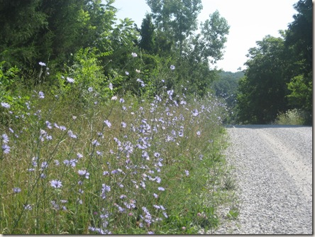 chicory along the roadside