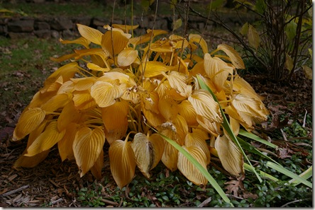 A hosta turning yellow