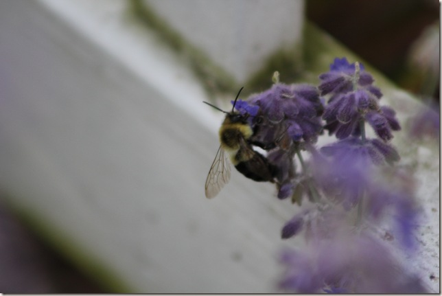 Bee on lavendar