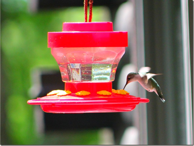 Humming bird drinking from feeder