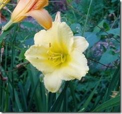 712 pale yellow lily 1
