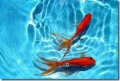 pesce rosso_1