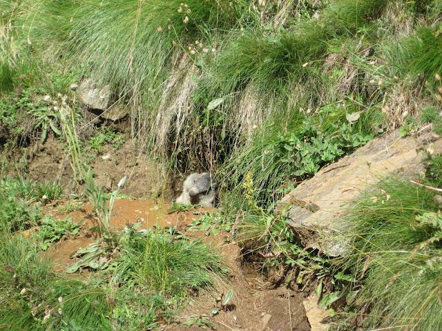La marmotta, che pochi sono riusciti a vedere così vicina