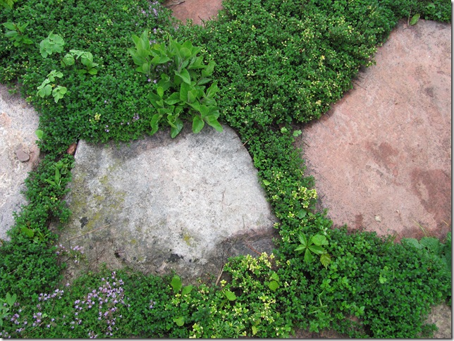 lemon thyme path