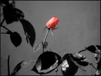 Rosas 01 [640x480]