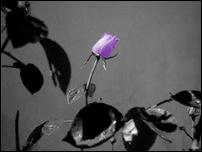 Rosas 02 [640x480]