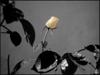 Rosas 10 [640x480]