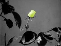Rosas 11 [640x480]
