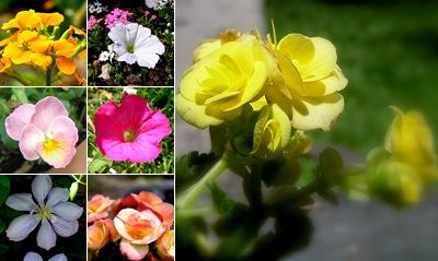 View Pansies, petunias & begonias