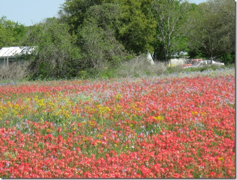 2010 wild flowers valley trip and bluebonnetsr 088