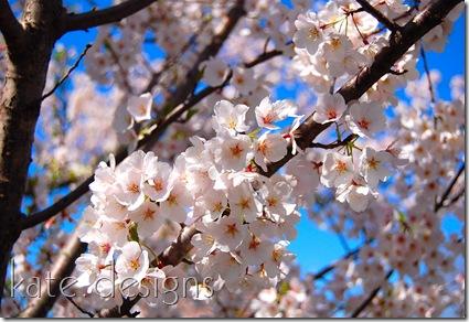 DC - Cherry Blossom Festival & Smithsonian 015