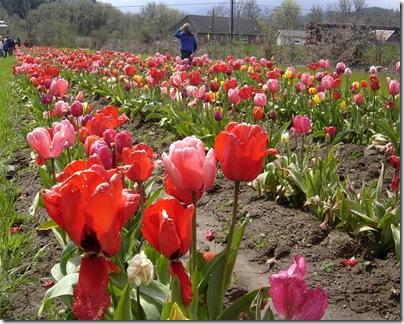 tulipsgalore