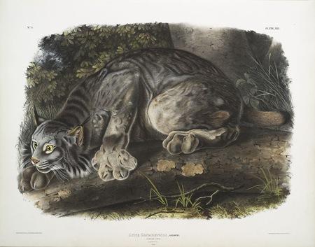 Audubon_-_Lynx_du_Canada