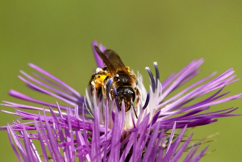 Abelha na flor de cardo