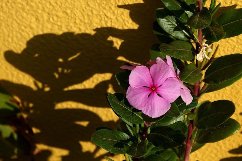 Simples e belas, flores de Cabo Verde