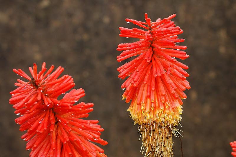 Flores de Aloé