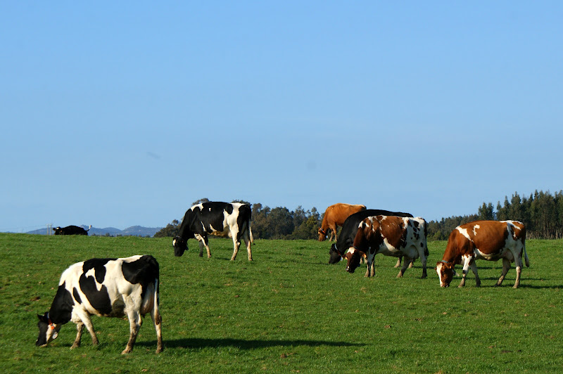 Alentejo, vacas