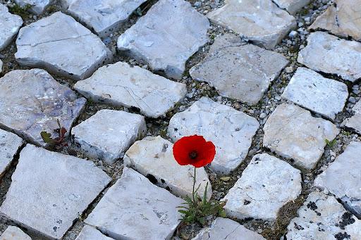 Pequena Papoila nas pedras da calçada