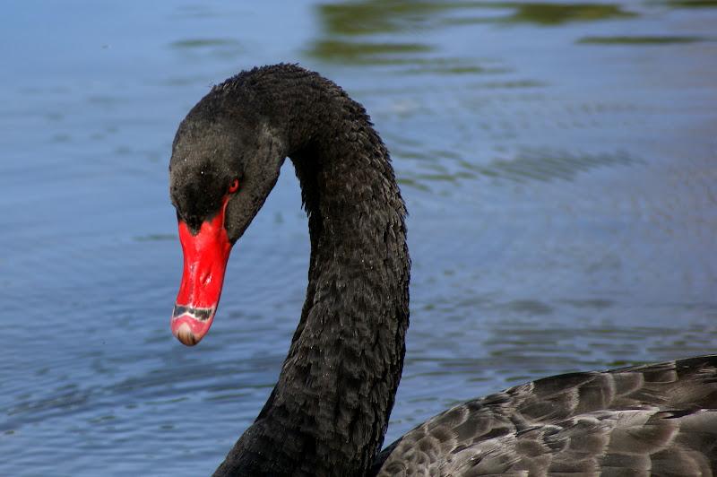 Cisne negro no Jardim do Bonfim, Setúbal
