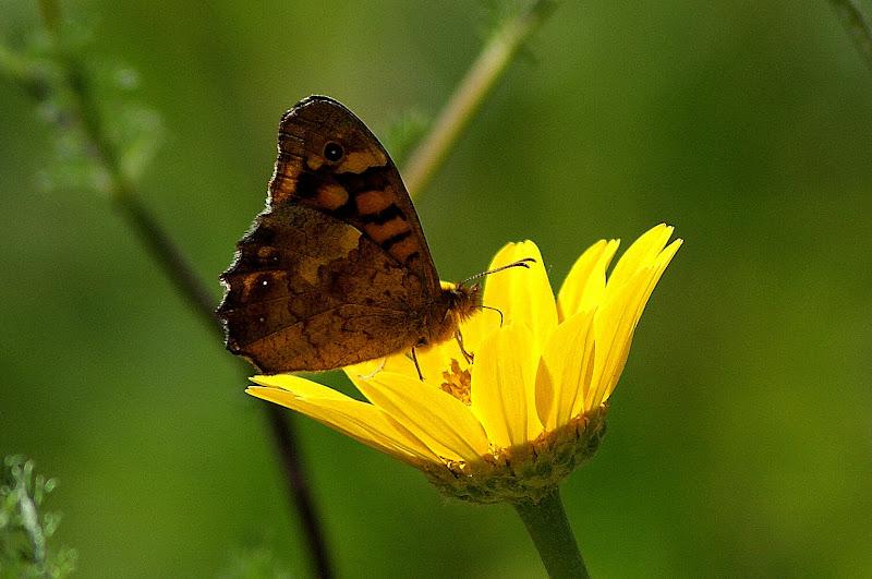 Borboleta na flor amarela