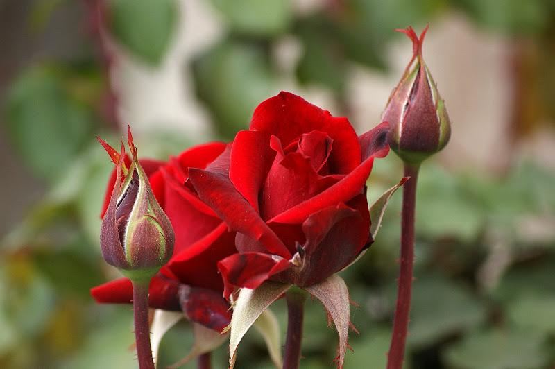 Rosa e sedução