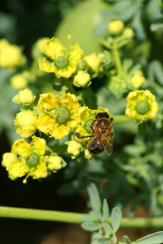 Abelha nas flores amarelas