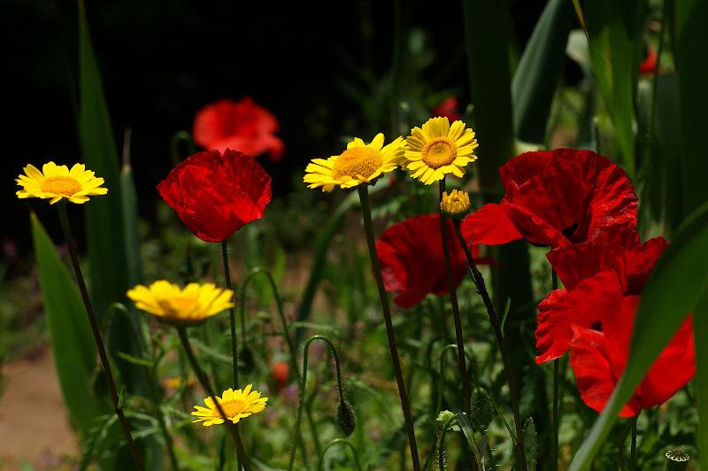 Flores silvestres... papoilas