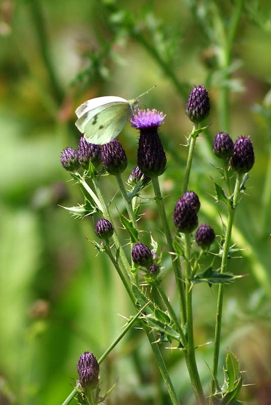 Detalhes..a borboleta e as flores lilás