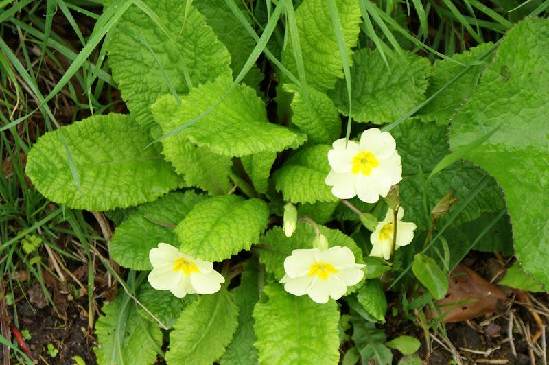 Flores da Irlanda, Verde Amarelo